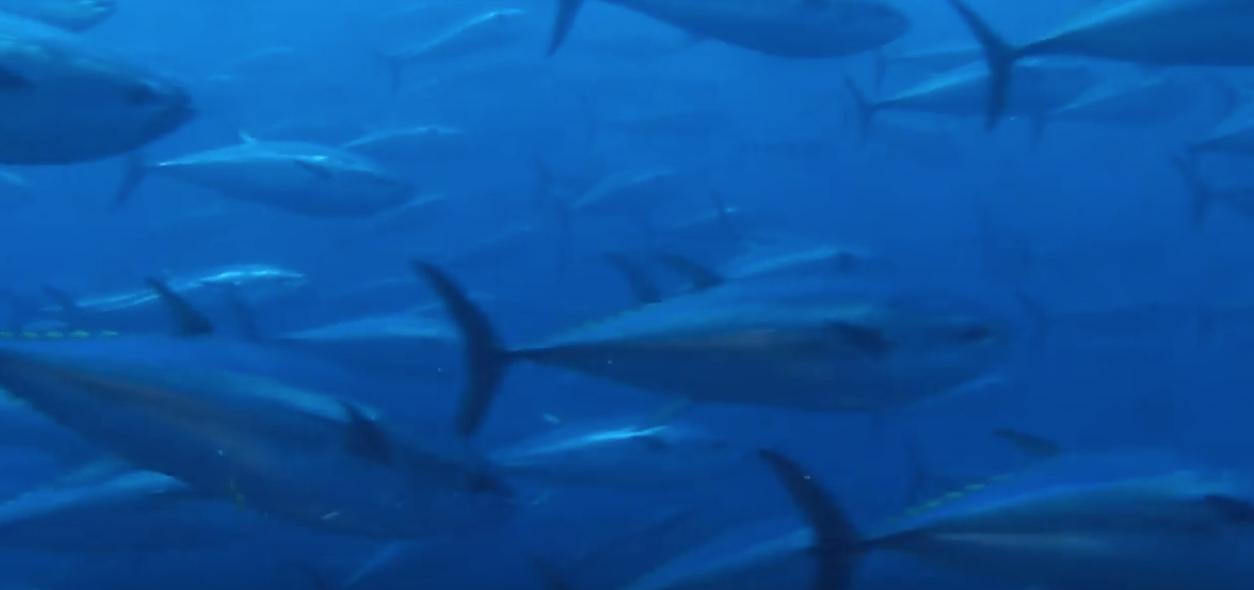 fish themis